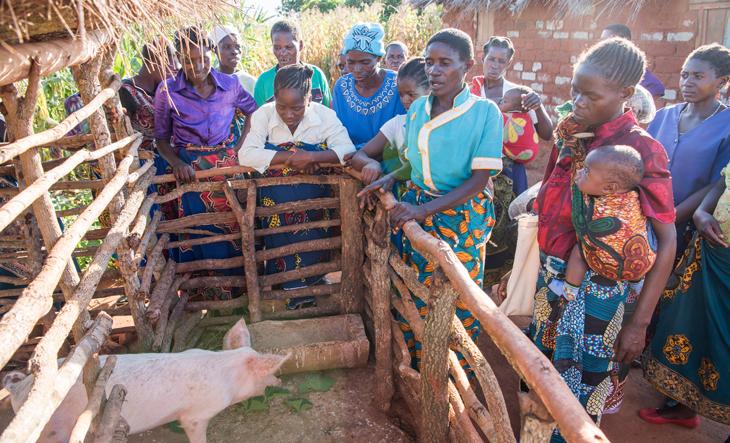 Malawi Permakultur Schulgarten Schweine