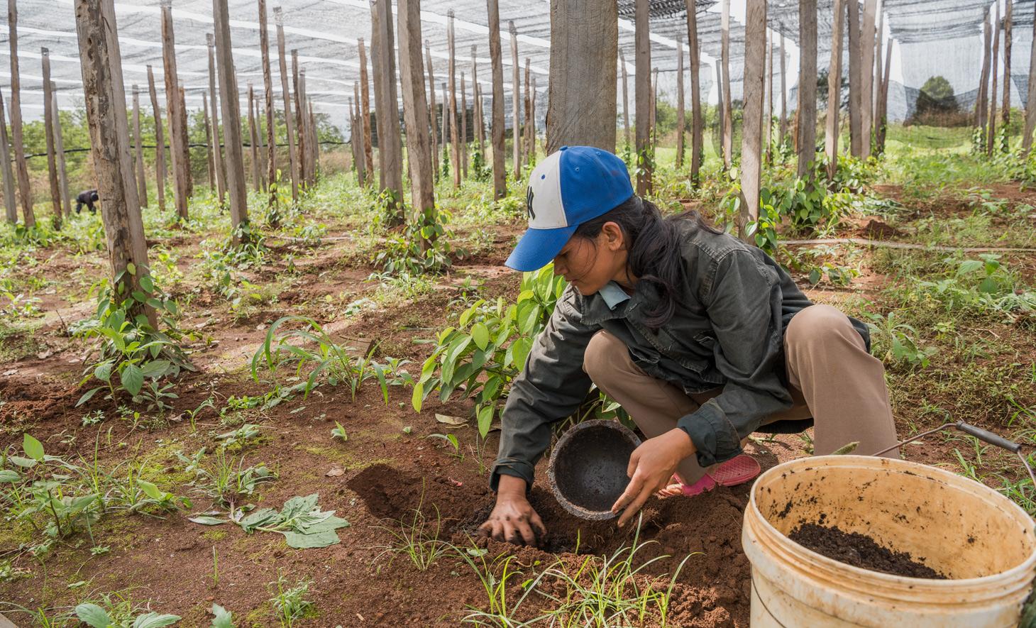Biologischer Kompost für das Pfefferfeld